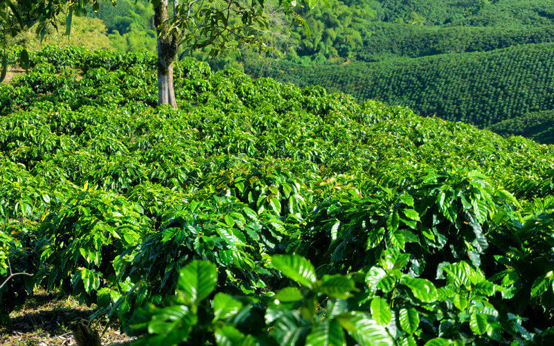 How to start a coffee plantation in the Philippines